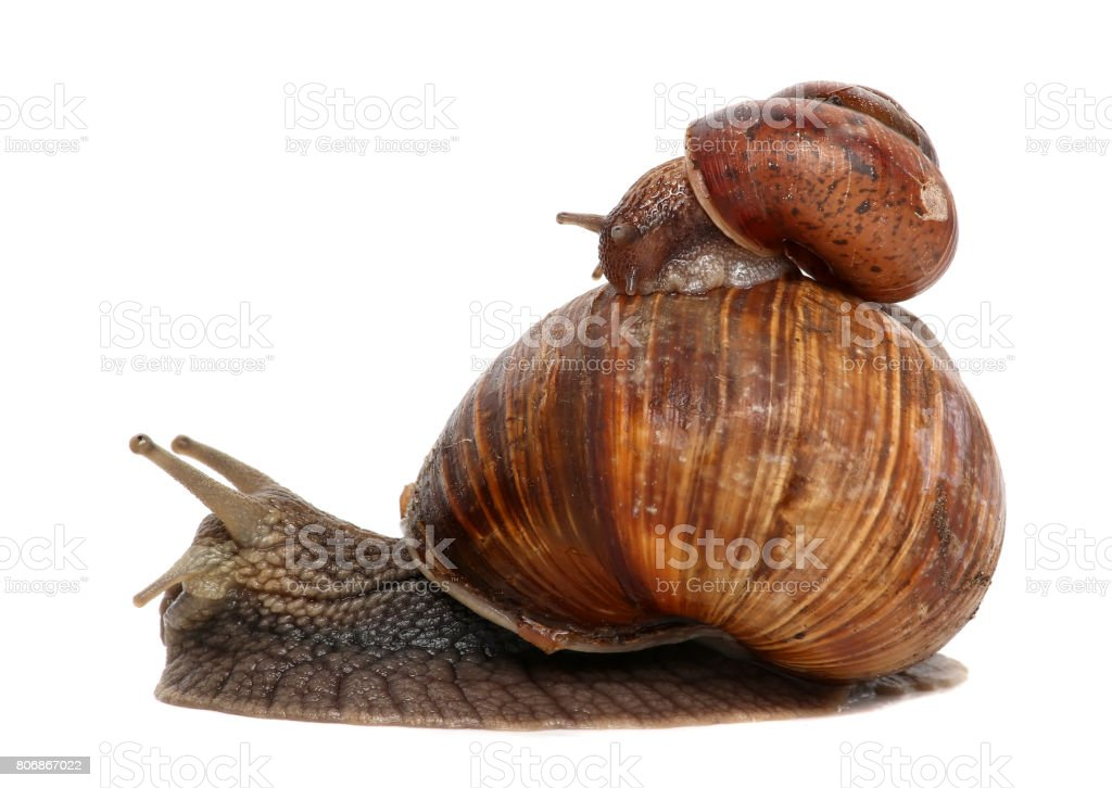 Garden snail isolated on white. Snail and baby snail family stock photo