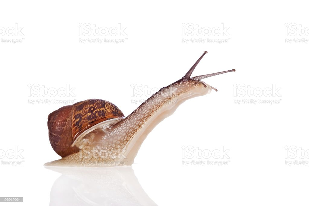 Garden snail looking up isolated on white background royalty-free stock photo