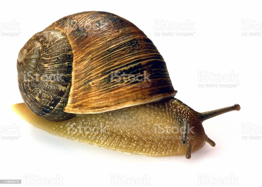 Garden snail royalty-free stock photo