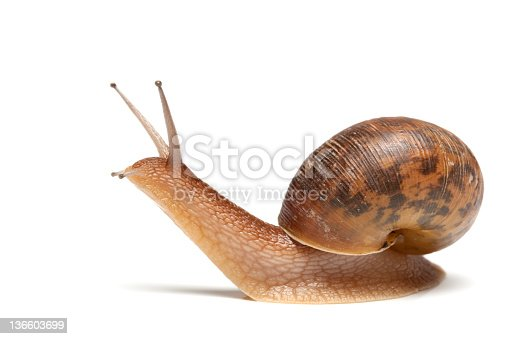 garden snail on white background.