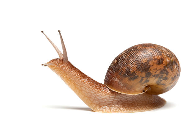 europejski ślimak brązowy - ślimak gastropoda zdjęcia i obrazy z banku zdjęć