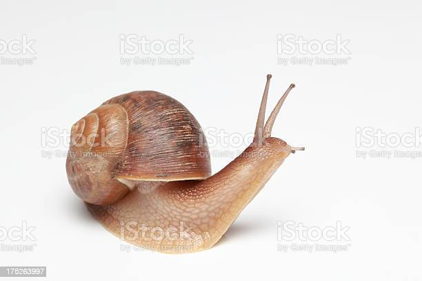 Garden snail picture id175263997?b=1&k=6&m=175263997&s=612x612&h=eg7su9 tdq4dggzapgt1rlsj9graqxwwp4uphzcxuzc=