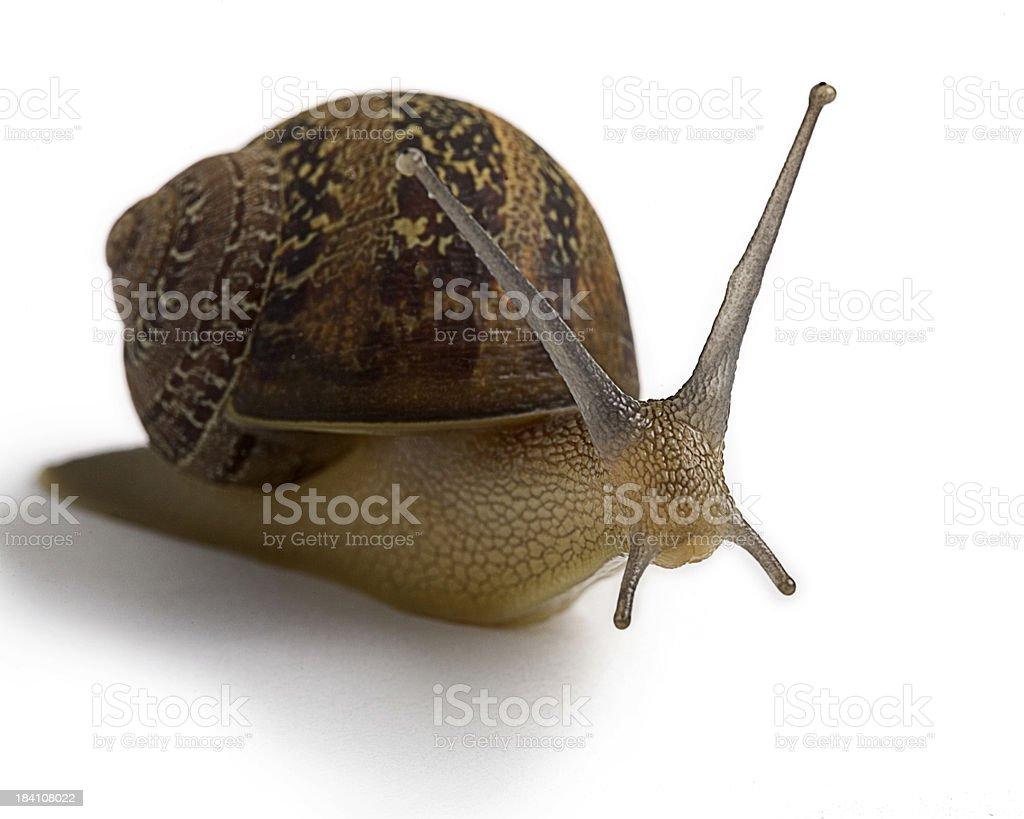 Garden Snail (HI-RES) royalty-free stock photo