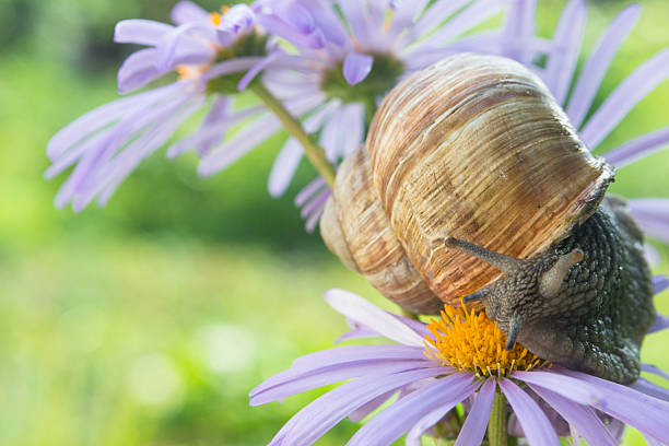 Garden snail sits on a violet daisy stock photo