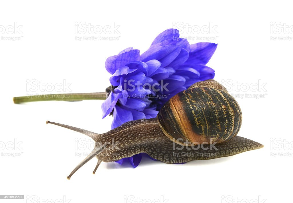 Garden snail slides over the petals of a blue chrysanthemum royalty-free stock photo