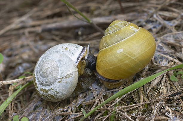 molluscs two snails snuggle up for sex - whiteway stock photos and pictures