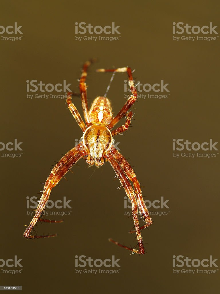 garden spider hanging down royalty-free stock photo