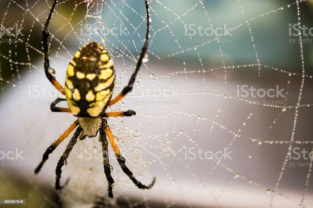 Jardim aranha em uma teia. - foto de acervo