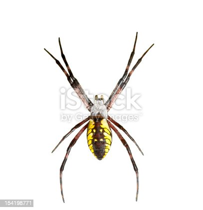 Top view of a garden spider on white background