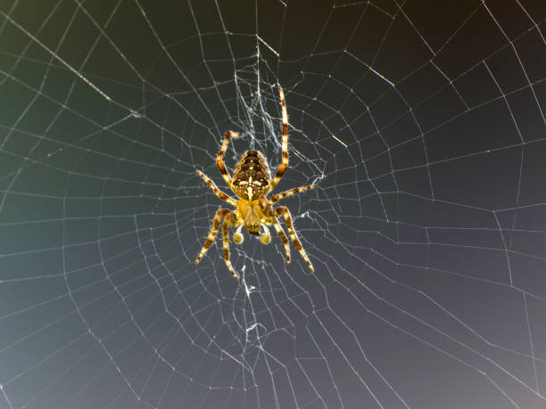 Garden Spider on Web in Oregon A Garden Spider on its web in the State of Oregon. Taken in a flower garden. dorsal surface stock pictures, royalty-free photos & images