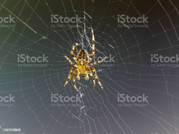 Garden Spider On Web In Oregon Stock Photo - Download Image Now