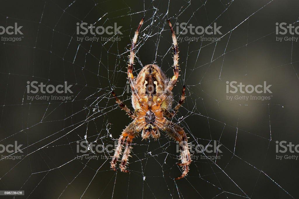 Aranha de Jardim na Web foto royalty-free