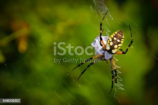 Garden spider catching a meal