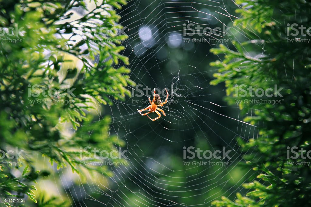 Garden spider (Araneus diadematus). stock photo