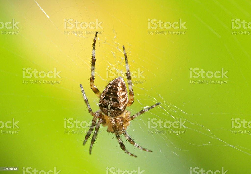 Araignée des jardins photo libre de droits