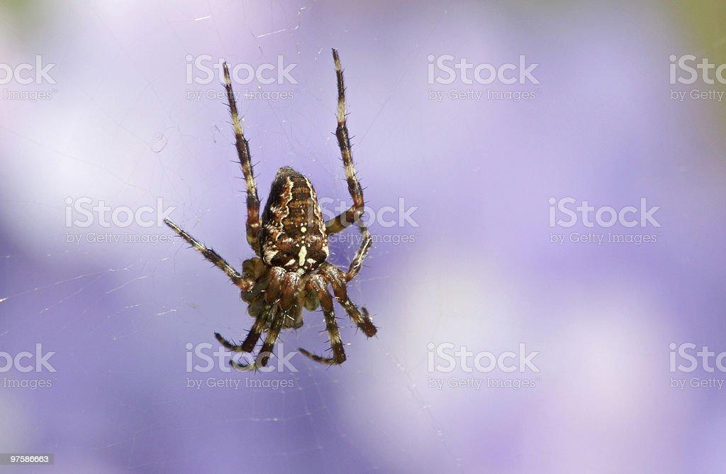 Garden Spider royalty-free stock photo