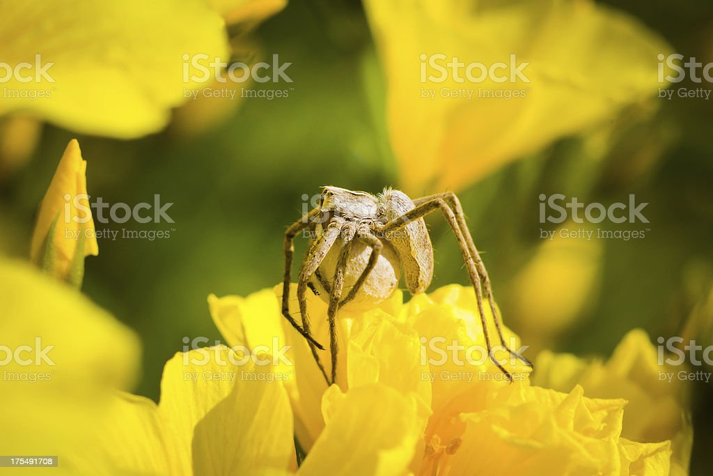Garden Spider with eggs royalty-free stock photo