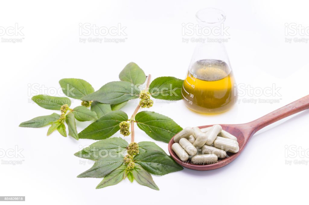 Garden spurge, Asthma weed, Snake weed, Milk weeds, isolate on white stock photo