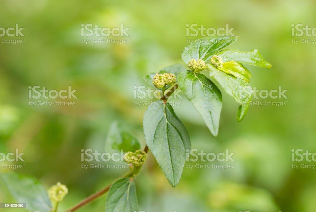 Garden spurge, Asthma weed, Snake weed, Milk weeds,Euphorbia hirta stock photo