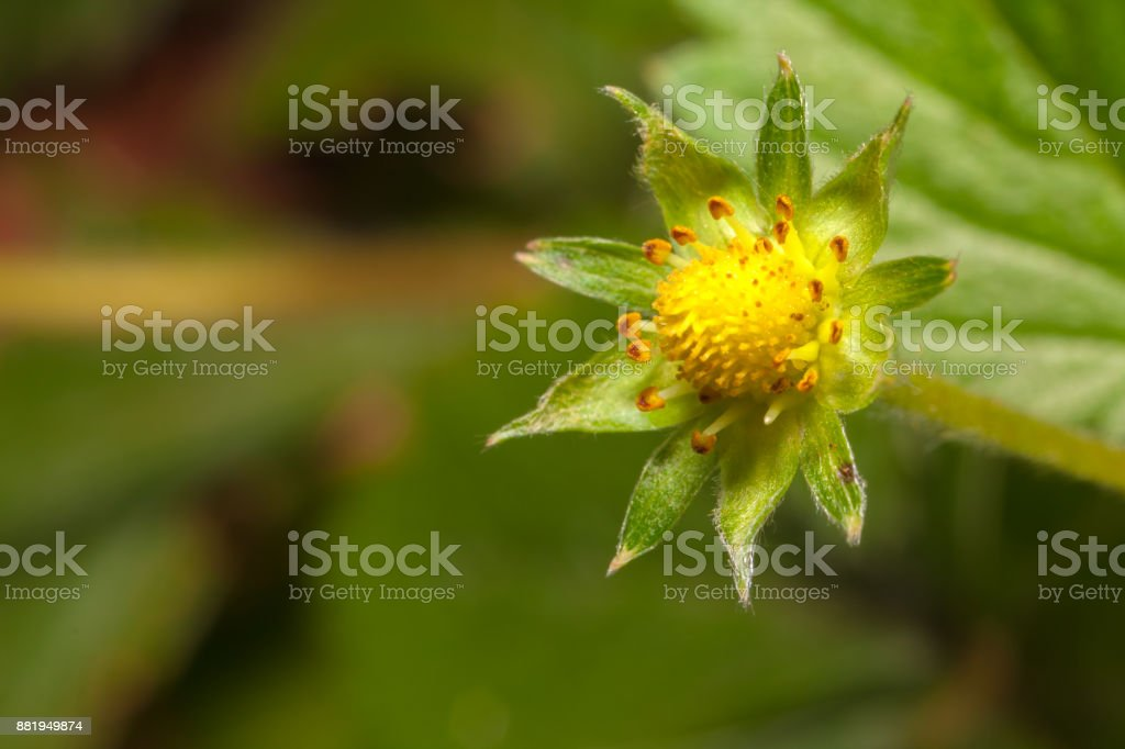Garden Strawberry flower without petals flowers and green leaves - young green fruit stock photo