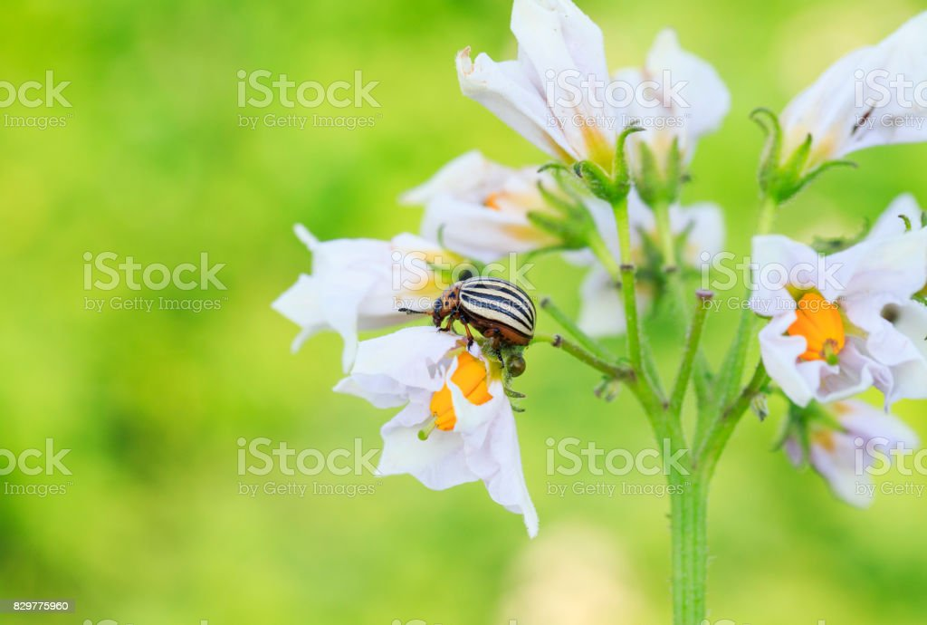 garden striped Colorado potato beetle sits on the flowering branches of plants potatoes stock photo
