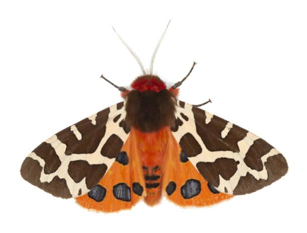 Garden tiger moth, Arcrtia caja isolated on white background stock photo