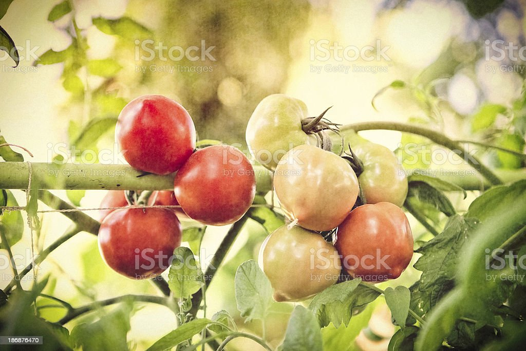 Garden Tomatoes On The Vine royalty-free stock photo