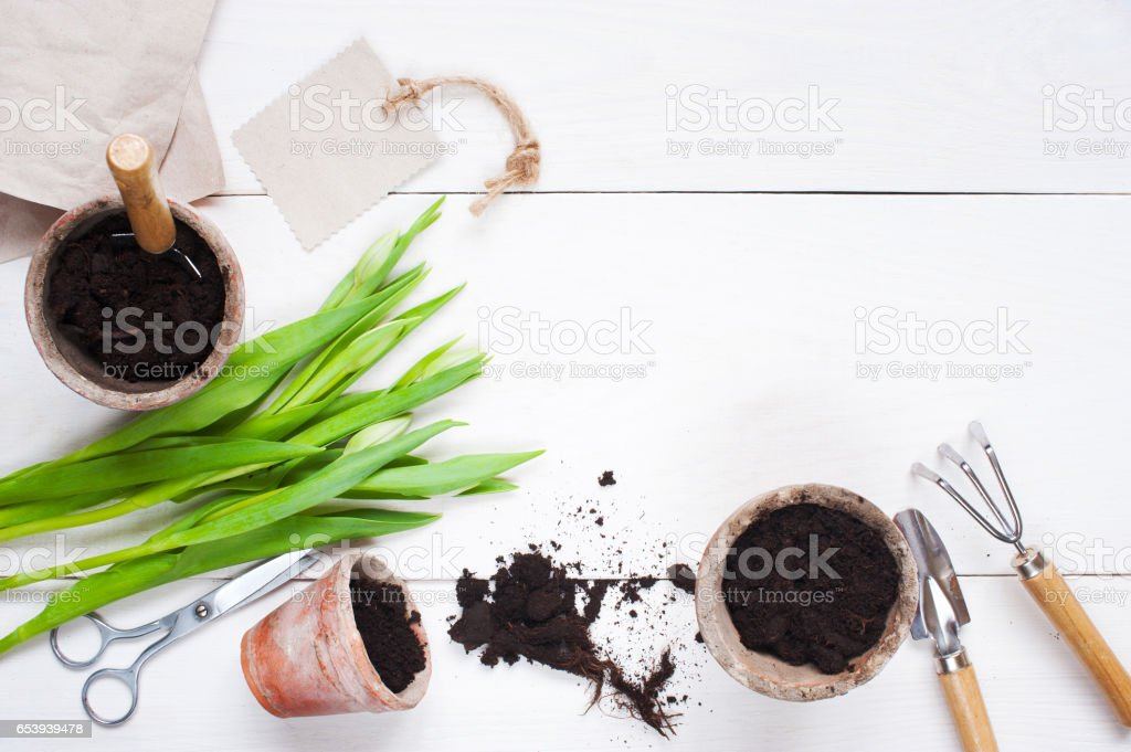 Garden tools and tulips on the white wooden table stock photo