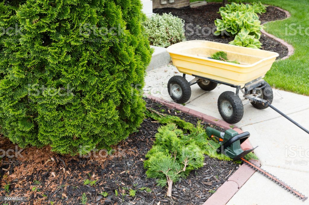 Garden tools used to trim arborvitaes stock photo