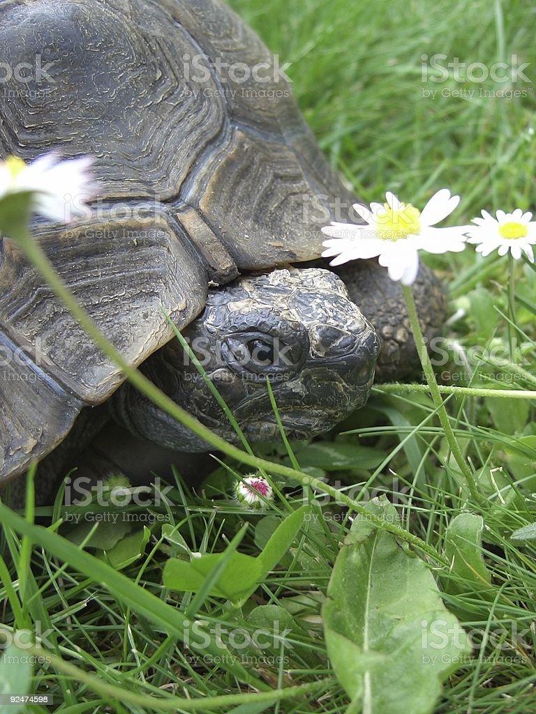 garden tortoise royalty-free stock photo