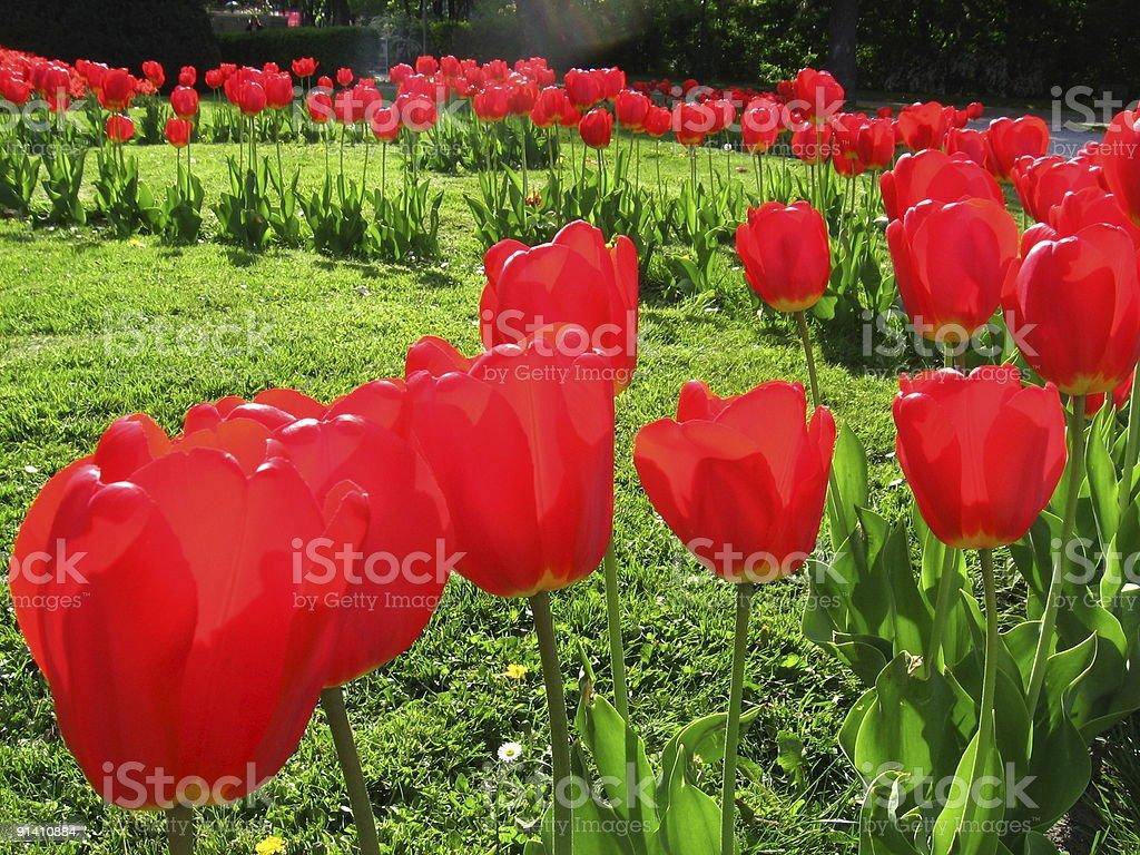 Garden tulips stock photo