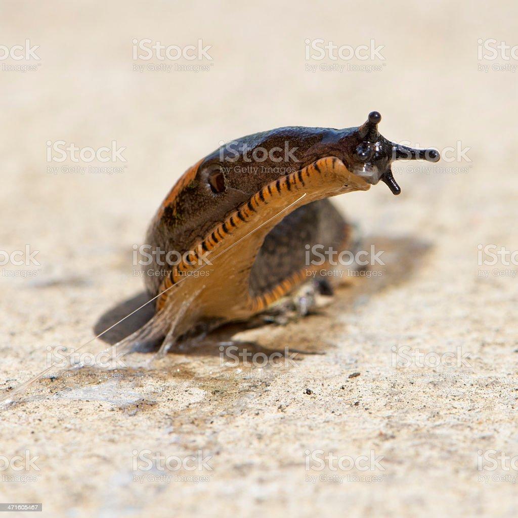Garden Variety Slug stock photo