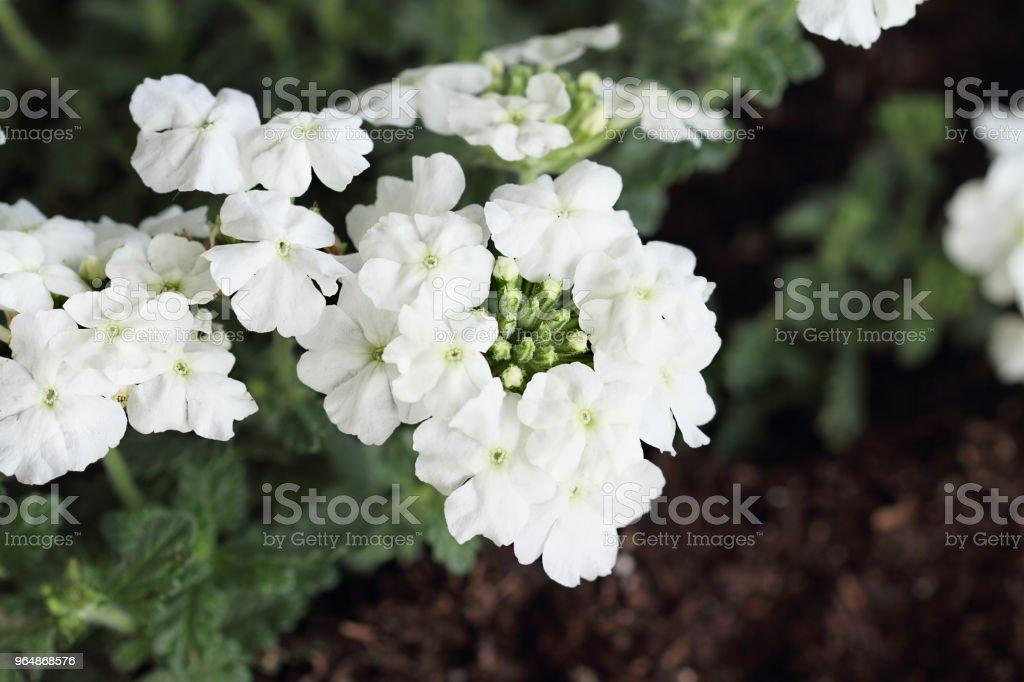 Garden Verbena royalty-free stock photo