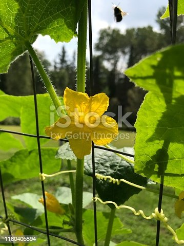 Photograph of a yellow flower blooming on a vegetable garden vine and growing through the fence outdoors on a warm summer day. There is a large bee coming down to approach the flower on the top right side of the photo.
