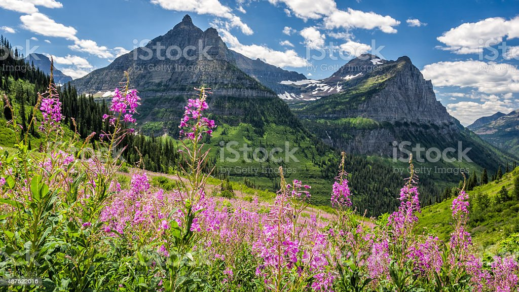 Garden Wall in Glacier National Park Garden Wall with flowers at the forefront and glaciers as backdrop under blue sky in Glacier National Park, MT, USA. 2015 Stock Photo