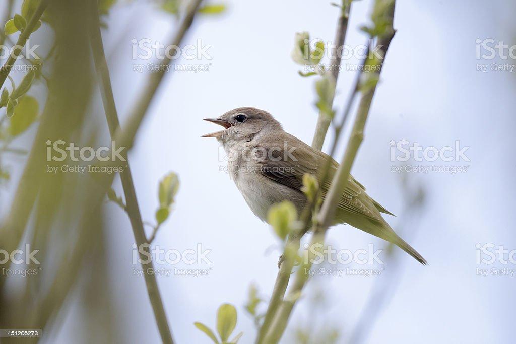 Garden warbler, Sylvia borin stock photo
