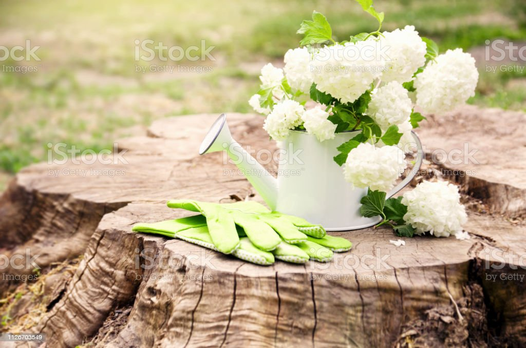 Garden watering can with white hydrangea flowers and green work...