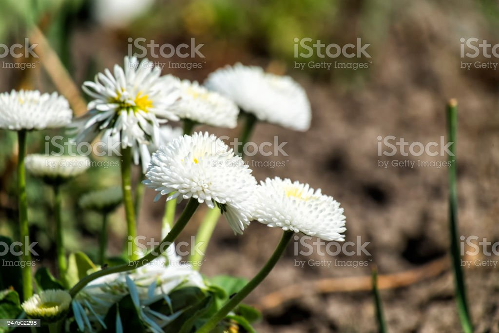 Garden white English daisies (Bellis perennis) stock photo