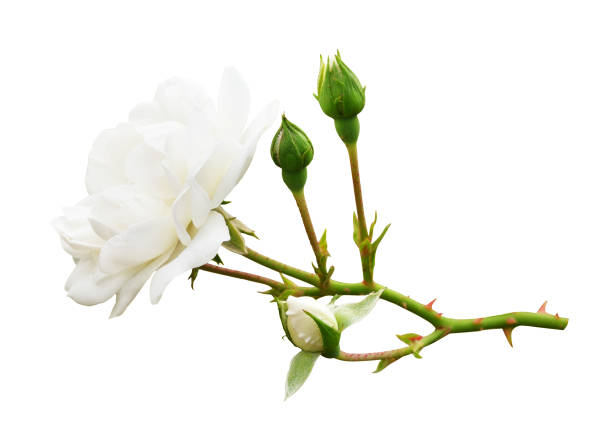 tuin wit roze bloem en knoppen - doorn stockfoto's en -beelden