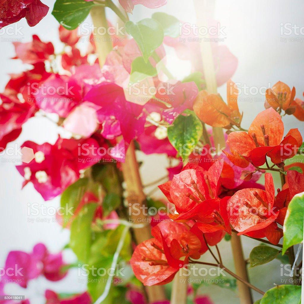 Garden with freshly bougainvilleas flower stock photo