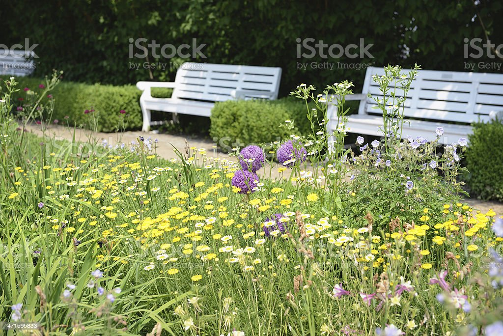 garden with golden marguerite (Anthemis tinctoria) royalty-free stock photo