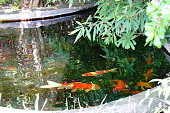 Thailand garden with koi fish