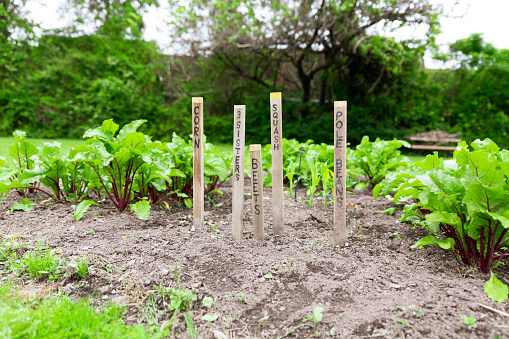 Garden with labeling on sticks of vegetable, corn, pole beans, beets, squash and 3 sisters