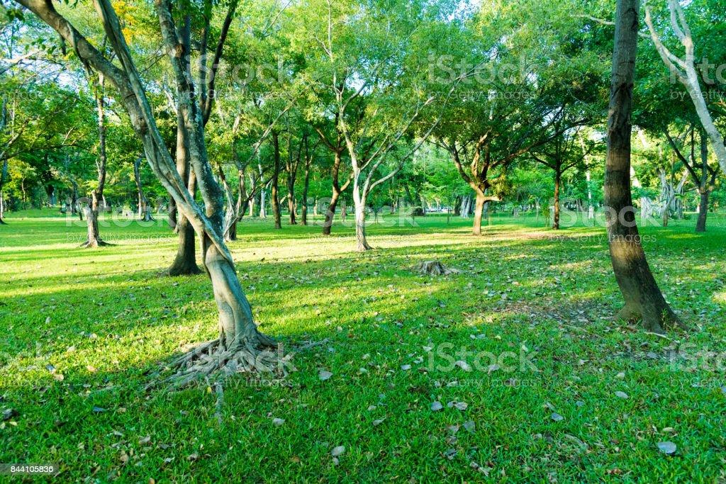 Garden with many tree has lighting from sunrise in the morning at Phutthamonton Nakhon Pathom Thailand. stock photo