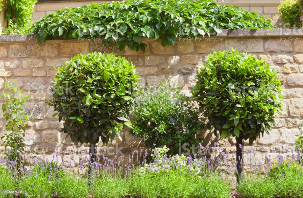 Garten Mit Geformten Formschnitt Zierbäume Lila Lavendel In Voller