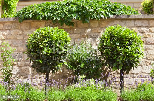 Bay Laurel topiary trees in a purple lavender stone wall garden, on a sunny summer day .