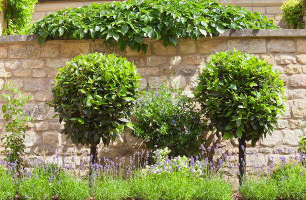 Garden with ornamental shaped topiary trees, purple lavender in bloom against stone wall . stock photo