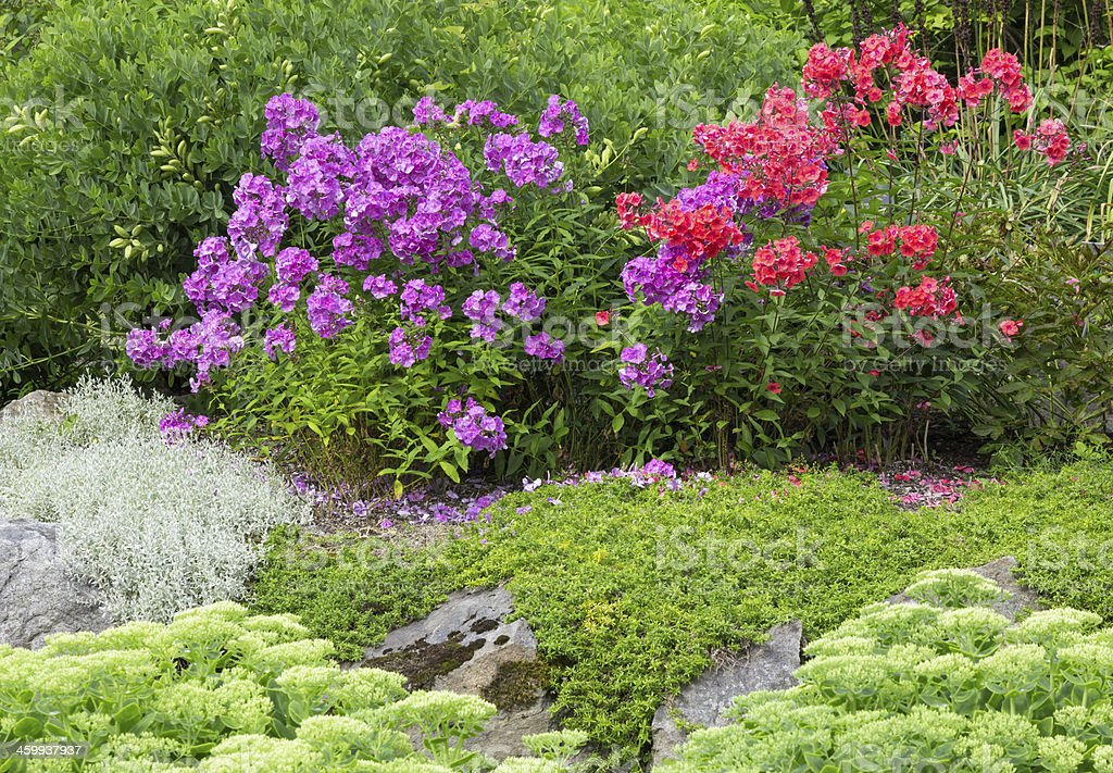 Garden with red and purple phlox stock photo