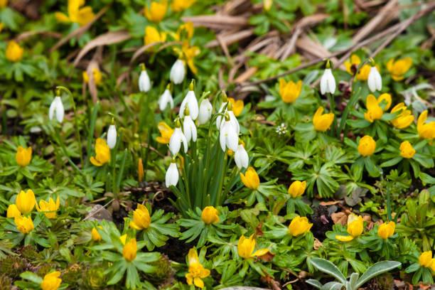 Jardin avec snowdrops et eranthis - Photo
