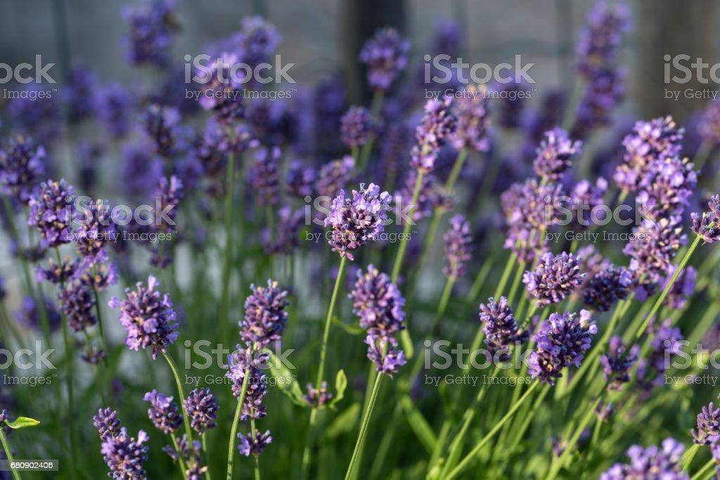Garden with the flourishing lavender royalty-free stock photo